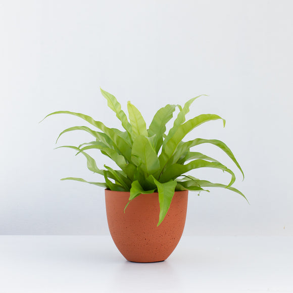 JAPANESE BIRD'S NEST FERN