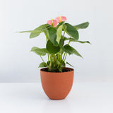 Water & Light Plant Shop Pink Anthurium in orange