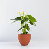 Water & Light Plant Shop White Anthurium Laceleaf Flamingo Flower in orange