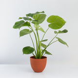 Water & Light Plant Shop Small Philodendron Monstera Deliciosa Plant in orange pot