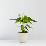 Water & Light Plant Shop White Anthurium in white