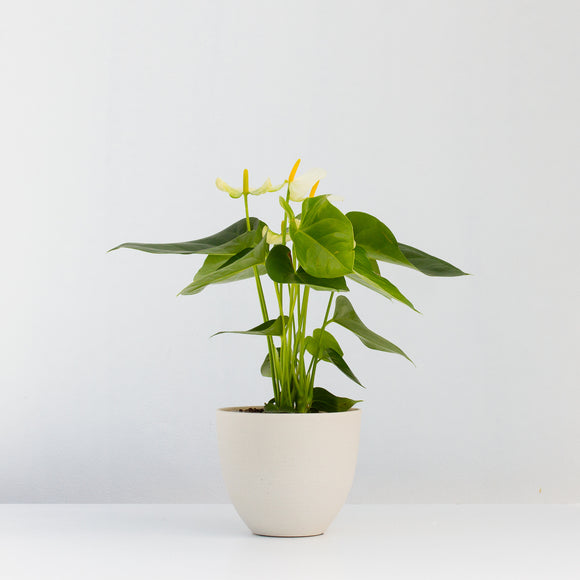 Water & Light Plant Shop White Anthurium Laceleaf Flamingo Flower in white