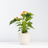 Water & Light Plant Shop Orange Anthurium Laceleaf Flamingo Flower in white