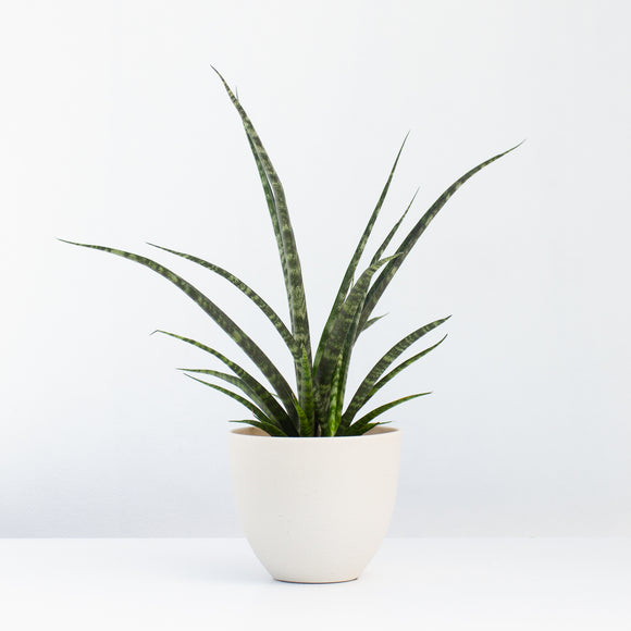 Water & Light Plant Shop Sansevieria Mikado Fernwood Snake Plant in white pot