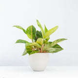 Water & Light Plant Shop Aglaonema Green Papaya in white