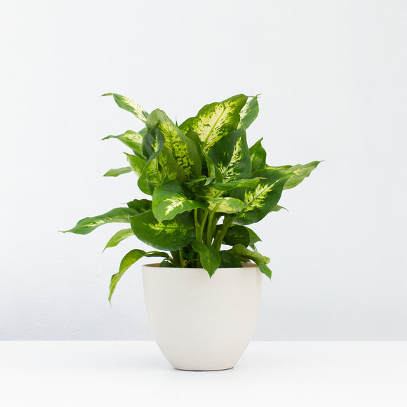 Water & Light Plant Shop Dieffenbachia Plant in white pot