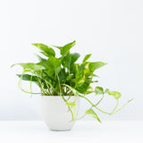 Water & Light Plant Shop Epipremnum Aureum Golden Pothos Plant in white pot