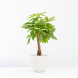 Water & Light Plant Shop Money Plant in white pot