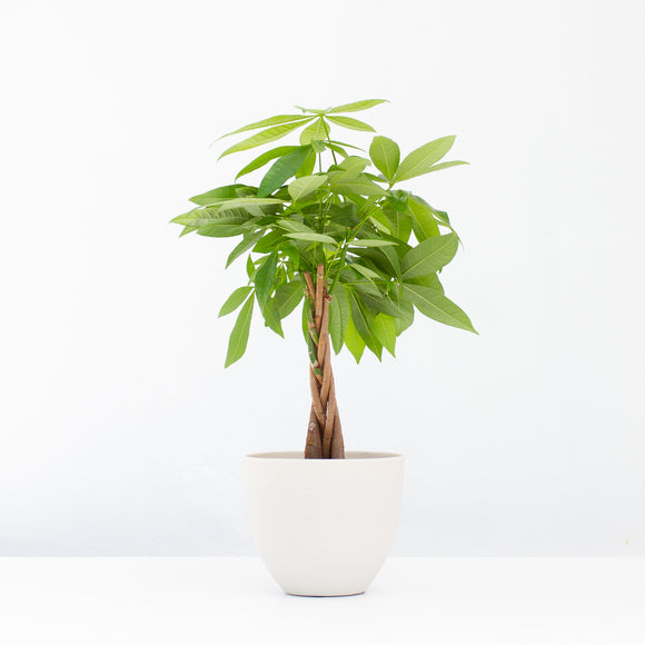 Water & Light Plant Shop Pachira Aquatica Money Plant in white pot