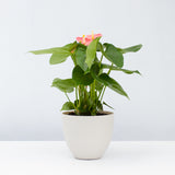 Water & Light Plant Shop Pink Anthurium Laceleaf Flamingo Flower in white