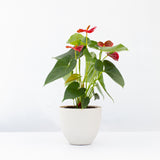 Water & Light Plant Shop Red Anthurium Laceleaf Flamingo Flower in white