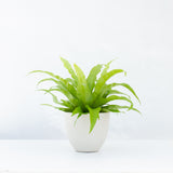 Water & Light Plant Shop Asplenium Nidus Japanese Birds Nest Fern Plant in white pot