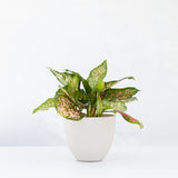Water & Light Plant Shop Aglaonema Etta Rose in white