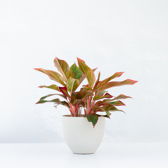 Water & Light Plant Shop Aglaonema Firecracker Red Siam in white pot