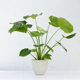 Water & Light Plant Shop Small Philodendron Monstera Deliciosa Plant in white pot