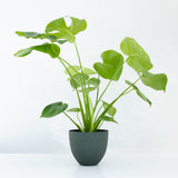 Water & Light Plant Shop Small Monstera Deliciosa Plant in green pot