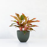 Water & Light Plant Shop Aglaonema Firecracker Red Siam in green pot