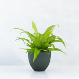 Water & Light Plant Shop Asplenium Nidus Japanese Birds Nest Fern Plant in green pot