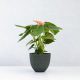 Water & Light Plant Shop Pink Anthurium Laceleaf Flamingo Flower in green