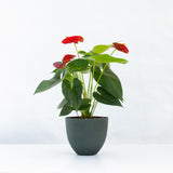 Water & Light Plant Shop Red Anthurium Laceleaf Flamingo Flower in green