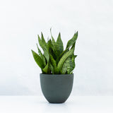 Water & Light Plant Shop Small Sansevieria Black Coral Snake Plant in green pot