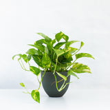 Water & Light Plant Shop Epipremnum Aureum Golden Pothos Plant in green pot