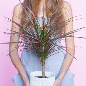 Water & Light Plant Shop Small Dracaena Marginata Plant lifestyle