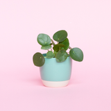 Water & Light Plant Shop Pilea Peperomioides Chinese Money Plant in green pot