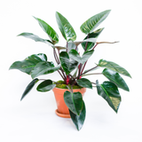 Water & Light Plant Shop Philodendron Congo Rojo in terra cotta pot