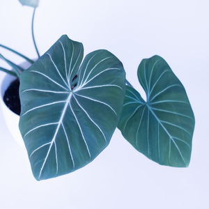Water & Light Plant Shop Philodendron Gloriosum Plant leaf detail