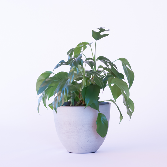 Water & Light Plant Shop Raphidophora Tetrasperma Monstera Minima Plant in white pot
