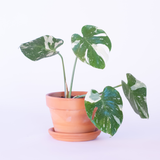 Water & Light Plant Shop Variegated Monstera Deliciosa Thai Constellation Plant in terra cotta pot