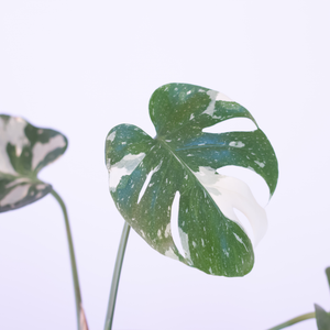 Water & Light Plant Shop Variegated Monstera Deliciosa Thai Constellation Plant leaf detail