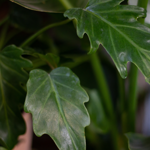 Water & Light Plant Shop Philodendron Xanadu leaf detail
