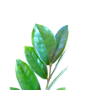 Water & Light Plant Shop Small Zamioculcas ZZ Plant leaf detail