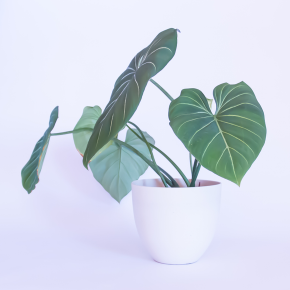 Water & Light Plant Shop Philodendron Gloriosum Plant in white pot