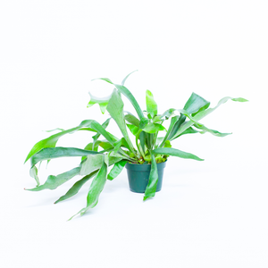 Water & Light Plant Shop Platycerium Bifurcatum Staghorn Fern in nursery pot