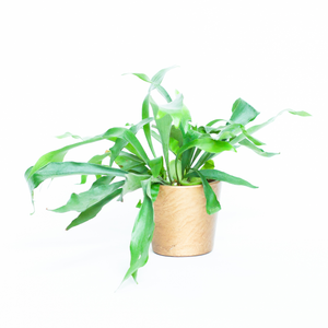 Water & Light Plant Shop Platycerium Bifurcatum Staghorn Fern in gold pot