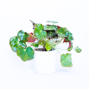 Water & Light Plant Shop Beefsteak Begonia Erythrophylla in white pot