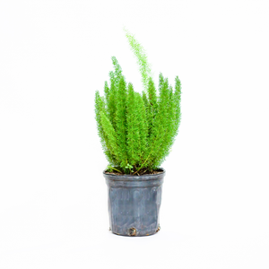 Water & Light Plant Shop Asparagus Densiflorus 'Myers' Foxtail Fern Plant in nursery pot