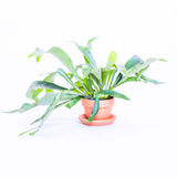 Water & Light Plant Shop Platycerium Bifurcatum Staghorn Fern in terra cotta pot