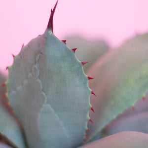 Water & Light Plant Shop Artichoke Agave leaf detail
