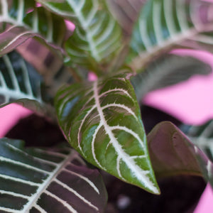 Water & Light Plant Shop Aphelandra Squarrosa Zebra Plant leaf detail