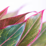 Water & Light Plant Shop Aglaonema Firecracker Red Siam leaf detail