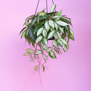 Water & Light Plant Shop Variegated Hoya Carnosa Plant hanging in nursery pot