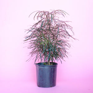 Water & Light Plant Shop Aralia Elegantissima