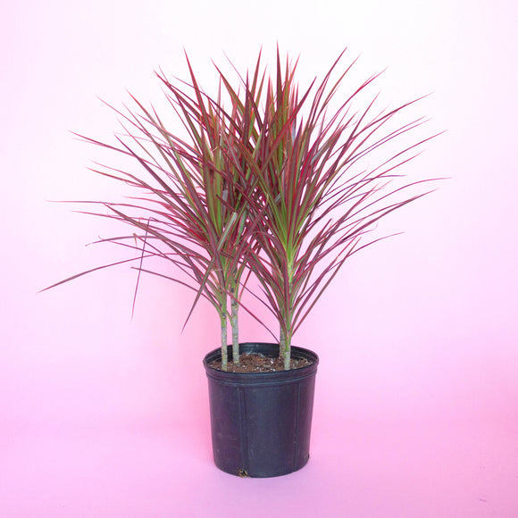Water & Light Plant Shop Dracaena Marginata Colorama Dragon Tree Plant in nursery pot