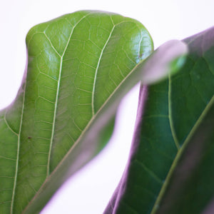 Water & Light Plant Shop Fiddle Leaf Fig Ficus Lyrata Bush leaf detail