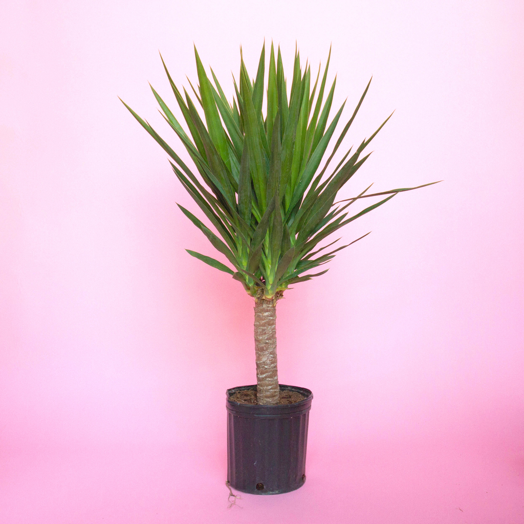 Water & Light Plant Shop Filamentosa Yucca Cane Plant in nursery pot