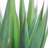 Water & Light Plant Shop Filamentosa Yucca Cane Plant leaf detail